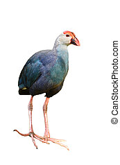Purple Swamphen (Porphyrio porphyrio) isolated on white...