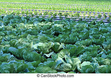 Organic Farm with Cabbage - Organic cabbage farm during a...