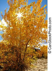 Cottonwood - Bright golden cottonwood tree in the autumn