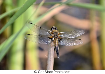 a dragonfly on a reed at a lake