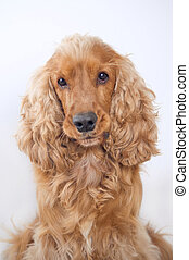 Cocker spaniel dog portrait on simple background