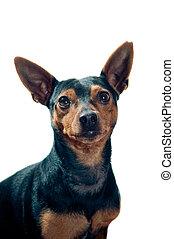 Retrato,  pinscher, cão
