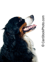 Bernese mountain dog looking up. Isolated on white...