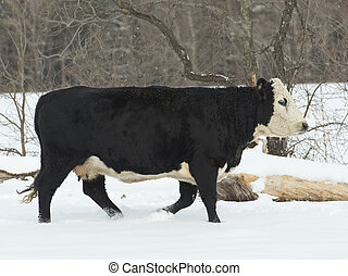Black Hereford Cow - Black Hereford cow in a pasture
