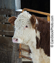 Hereford Cow - Hereford cow in a feed lot