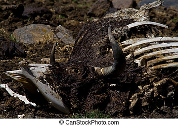 cow corpse - rotting cow corpse in the wilderness of peru