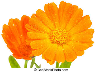 Orange calendula flowers - Calendula flowers isolated on...