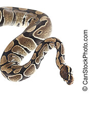 Royal Python on white background - Royal Python snake in...
