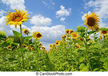 Beautiful sunflowers - Beautiful sunflowers on a background...