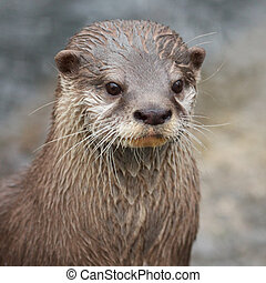 Small-clawed Otter portrait - Portrait of a small-clawed...