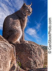 Iberian lynx sitting on a rock watching while sunbathing on...