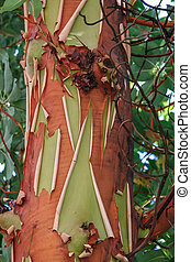 Pacific Madrona tree (Arbutus menziesii )