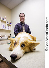 Dog in a veterinary office - Dog on table with veterinarian...