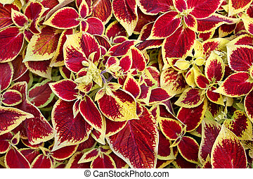 Coleus Blumei (Solenostemon scutellarioides) with flamboyant...