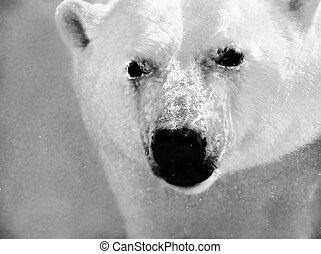 Dramatic polar bear underwater portrait