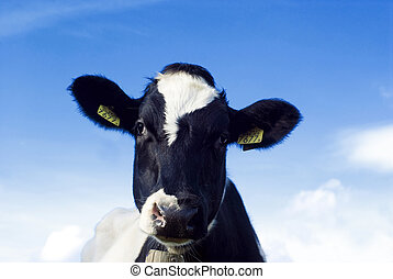 Cute and funny...a cow! - Dutch black and white cow against...