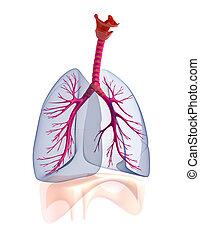 transtarent, anatomia,  human, pulmões