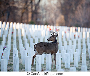 Whitetailed deer in cemetery - White-tailed deer buck in...