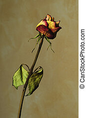 Withered rose on yellow textured background - A Withered...
