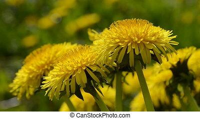 yellow dandelion spring flowers