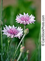 Centaurea is a genus of between 350 and 600 species of...