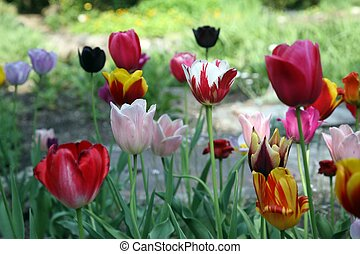 Tulips in full bloom