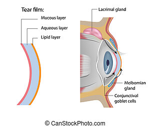 Tear film formation, eps10 - The lacrimal gland, meibomian...