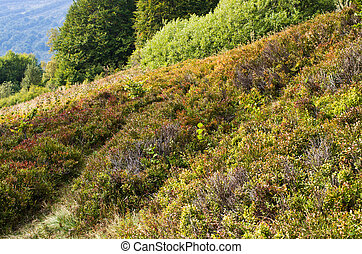 Carpathians meadow with blueberry bushes - Carpathians...