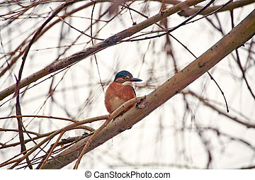 Common kingfisher - A common kingfisher sitting on a branch