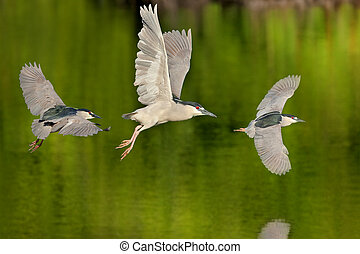 florida birds - Black crowned Night heron in flight. Latin...