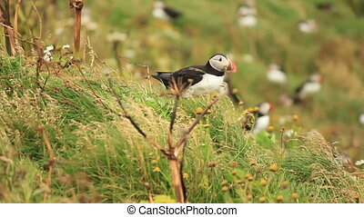 Atlantic Puffin Launch - Cute Atlantic Puffin trying to...