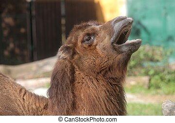 A yawning camel