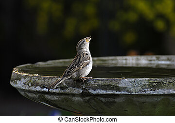 Bird Singing - Small bird drinking or chirping sitting on...