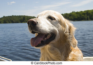 Golden Retriever on a boat ride with the happy face