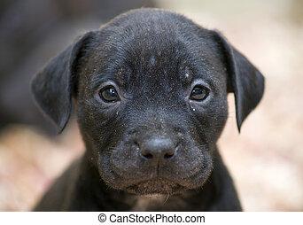 Full-frame shot of a pitbull pup face