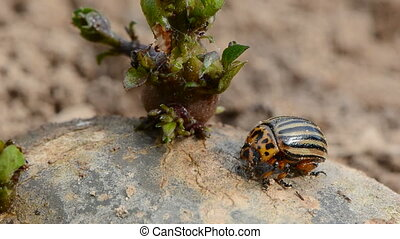 colorado beetle on potato - colorado beetle (Leptinotarsa...