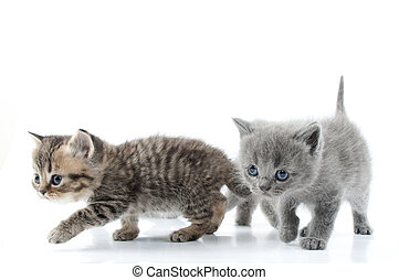 Two little kittens walking towards together. Studio shot. Isolated over white.
