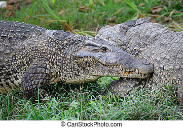 Cuban alligators - Alligators on natural habitat on Guama...