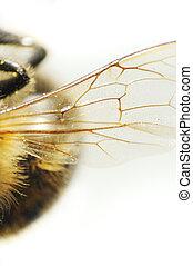 Pszczoła, szczegół, Skrzydło