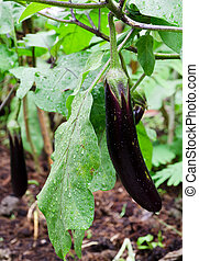 Eggplant on its tree - Purple eggplant on its tree