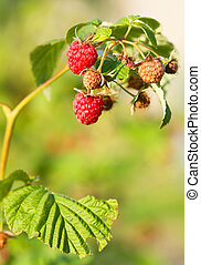 Red raspberry - Branch of a red raspberry