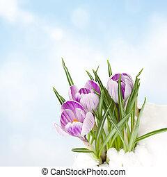 crocuses in snow - violet spring crocus flowers growing from...