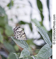 Tree Nymph butterfly Idea Leuconoe