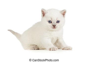 White British baby cat