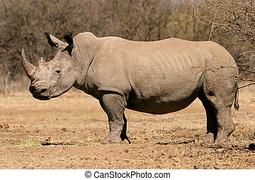 Black rhinoceros - A black (hooked-lipped) rhinoceros...