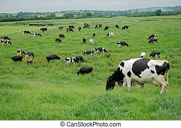 Freisian dairy cows - Friesian Holstein dairy cows grazing...