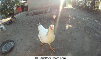 White chicken in courtyard - White chicken in countryside...