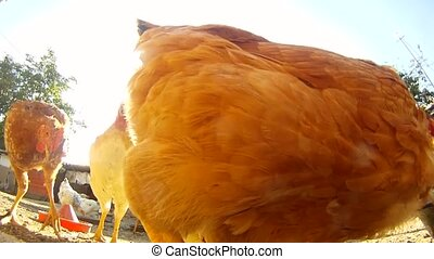 Close-up of chickens eating