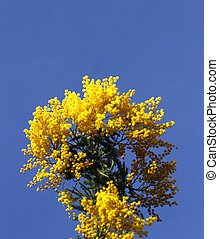 Mimosa flowers in the blue sky