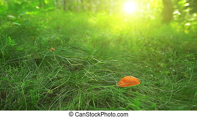 mushroom in green grass